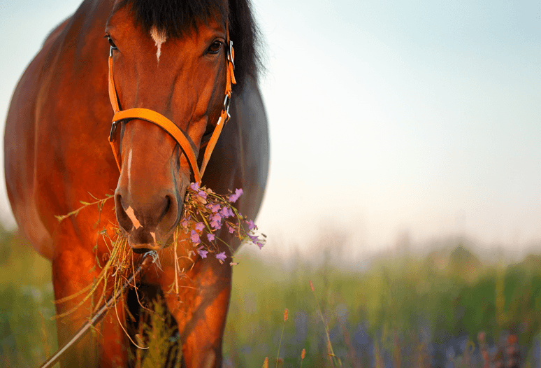 heltie horse lever en nieren