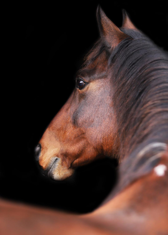 deken paard